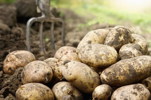 pommes de terre saines ou pas